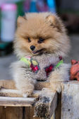 Pomeranian garb — Photo