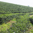 Stock Photo: Green TeField , Chiangrai In Thailand