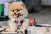 Puppy Pomeranian garb — Photo