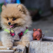 Stock Photo: Puppy Pomeranigarb