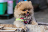 Puppy Pomeranian garb — Stock Photo