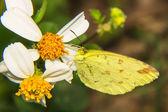Makro - motyl na stokrotka — Zdjęcie stockowe