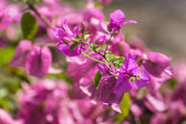 Pink Bougainvillea Bunch — Stock Photo