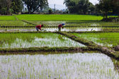 Thai rice farmer — Foto Stock