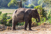 Thai Elephant — Stockfoto
