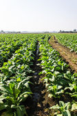 Tobacco Plants ,Agriculture in Thai — Foto de Stock