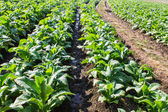 Tobacco Plants ,Agriculture in Thai — Stock Photo