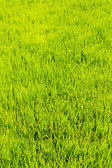 Rice field texture — Stock Photo