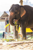 Thai Elephant Eating — Stock Photo