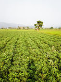 Groundnut farm in Thailand — Stock Photo