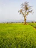 Boom op de rijst veld, Azië — Stockfoto