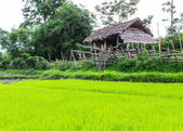 Rice field with cottage in Thailand — Stock Photo