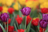 Colorful spring flowers tulips — Stock Photo