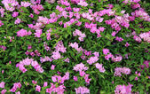 Green leaf pink bougainvillea  — Стоковое фото