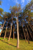 Pang-ung, pine forest park on the sky — Photo
