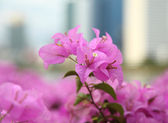 Pink bougainvillea blooms in the garden, soft focus  — Stock fotografie