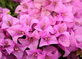 Pink bougainvillea blooms in the garden, soft focus — Zdjęcie stockowe