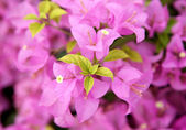 Green leaf pink bougainvillea blooms in the garden, soft focus — Stok fotoğraf