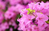 Green leaf pink bougainvillea blooms in the garden, soft focus — Zdjęcie stockowe