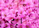 Bougainvillea flower — Foto Stock