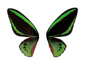 Wings Ornitoptera priamus.Green Butterfly on white background — Stock Photo