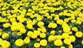 Flor amarela, calêndula — Foto Stock