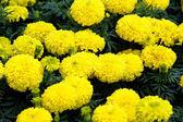 Yellow Flower, Marigold  — Stock Photo