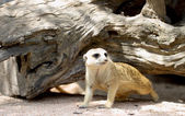 Portrait of meerkat — Stock Photo