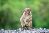 Małpia góra — Zdjęcie stockowe