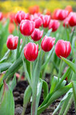 Red tulip field — Stock Photo