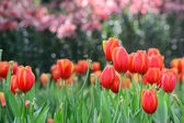 Red tulips garden — Stock Photo