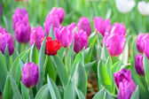 Pink tulip garden — Stock Photo