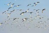 Flocks of Seagull under blue sky — Stock Photo