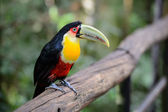 Toucan, National park Iguazu, Brazil  — Stock Photo