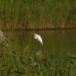 Egret — Stock Photo #38040669