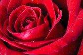 Image of red rose — Stock Photo