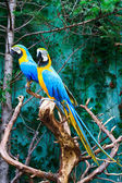Beautiful parrots — Stock Photo
