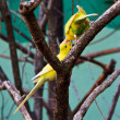 Stock Photo: Two yellow lovebird in forest on tree