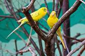 Twee gele dwergpapegaaien in bos op boom — Stockfoto