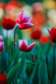 Beautiful spring flowers in garden — Stock Photo