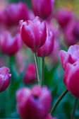 Beautiful spring flowers in garden — Stock Photo