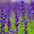 Purple lavender flowers in the field — Stock Photo #39036423