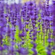 Purple lavender flowers in the field — Stock Photo