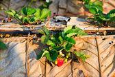 Erdbeerpflanzen-feld auf dem berg — Stockfoto