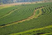 Green Tea Plantation Fields — Stock Photo