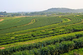 Green Tea Plantation Fields — Stock Photo