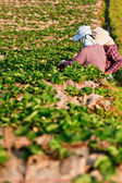Strawberry Plants field on the Mountain — Foto de Stock
