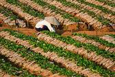 Strawberry Plants field on the Mountain — Stockfoto