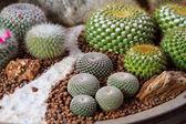 Cactus in pot.Gymnocalycium mihanovichii (red cactus) — Stock Photo