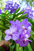 Border of orchid flower (vanda blue) — Stock Photo